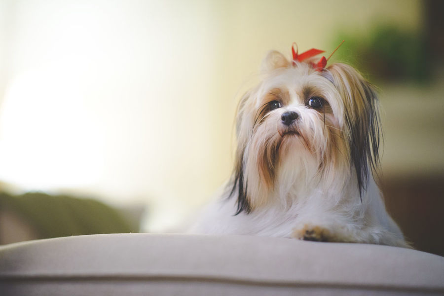 Animal Themes Close-up Day Dog Dog Lifestyle Domestic Animals Indoors  Mammal No People One Animal Pet Clothing Pet Lifestyle Pet Photography  Pet Portraits Pet Portraiture Pets Portrait Shih Tzu