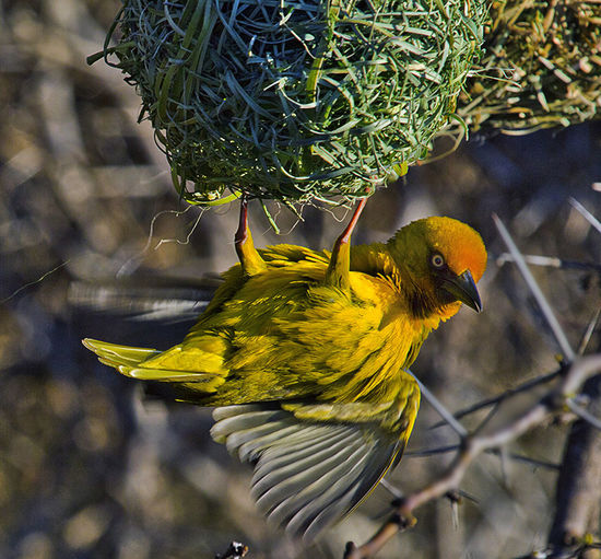 Home Jerome Animal Themes Beauty In Nature Bird Bird Nest Cape Weaver Nature Nest Building Nesting Wildlife Yellow