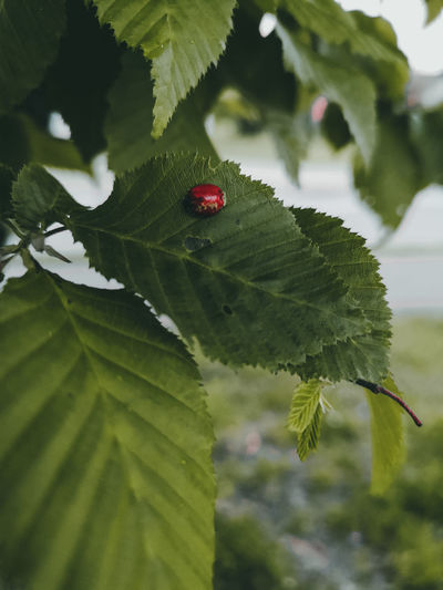 Lady bug Huaweiphotography Huaweip20pro Huawei P20 Pro Dogs Of EyeEm Huawei Lightroom Lightroom Mobile Check This Out Tree Leaf Red Close-up Animal Themes Green Color Plant Insect Butterfly - Insect Ladybug Grasshopper Ant Tiny Bug