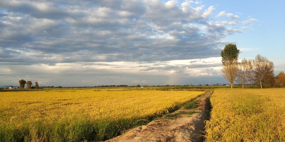 risaie dorate pronte per il raccolto Risaie Tree Cereal Plant Rural Scene Flower Agriculture Field Multi Colored Crop  Summer Farm