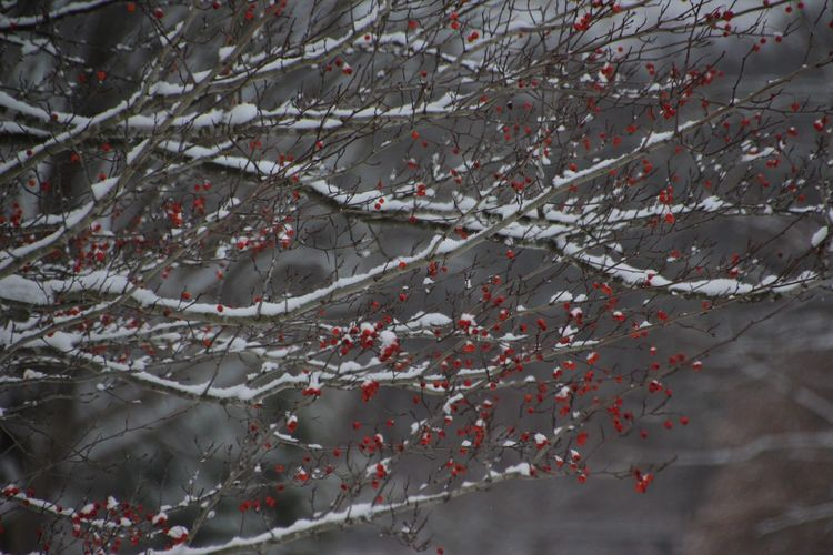mid December snow in Western New York Finger Lakes, Hemlock Lake Snow ❄ Beauty In Nature Branch Cold Temperature Day Frozen Growth Nature No People Outdoors Plants With Snow Red Berries In Tree Snow Tree Winter