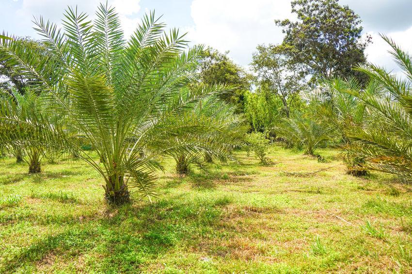 Barhi Dates Dates On Date Palm Barhi Date Palm Date Palm Garde Date Palm Tree Date Palms Environment Growth