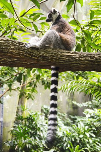 Low angle view of ring-tailed lemur relaxing on tree