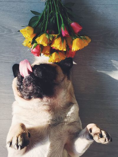 High Angle View Of Pug Sticking Out Tongue While Lying On Table With Flowers