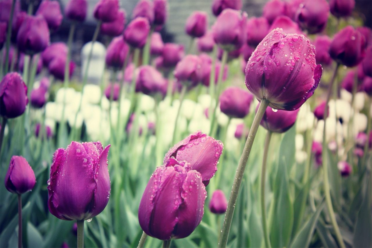 Close-up of wet purple tulips growing on field