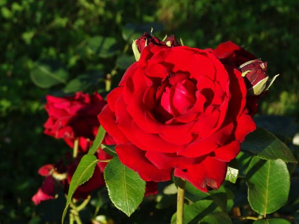 Flower Flower Head Rose - Flower