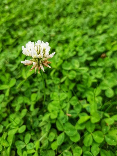 Clover flower Flower Nature Green Color Fragility Growth Plant Beauty In Nature Freshness Outdoors No People Flower Head Blooming Macro Clover Flower Clover Blossom Cloverflower Clover Field Nature The Week On EyeEm Grass Flower Close-up Freshness