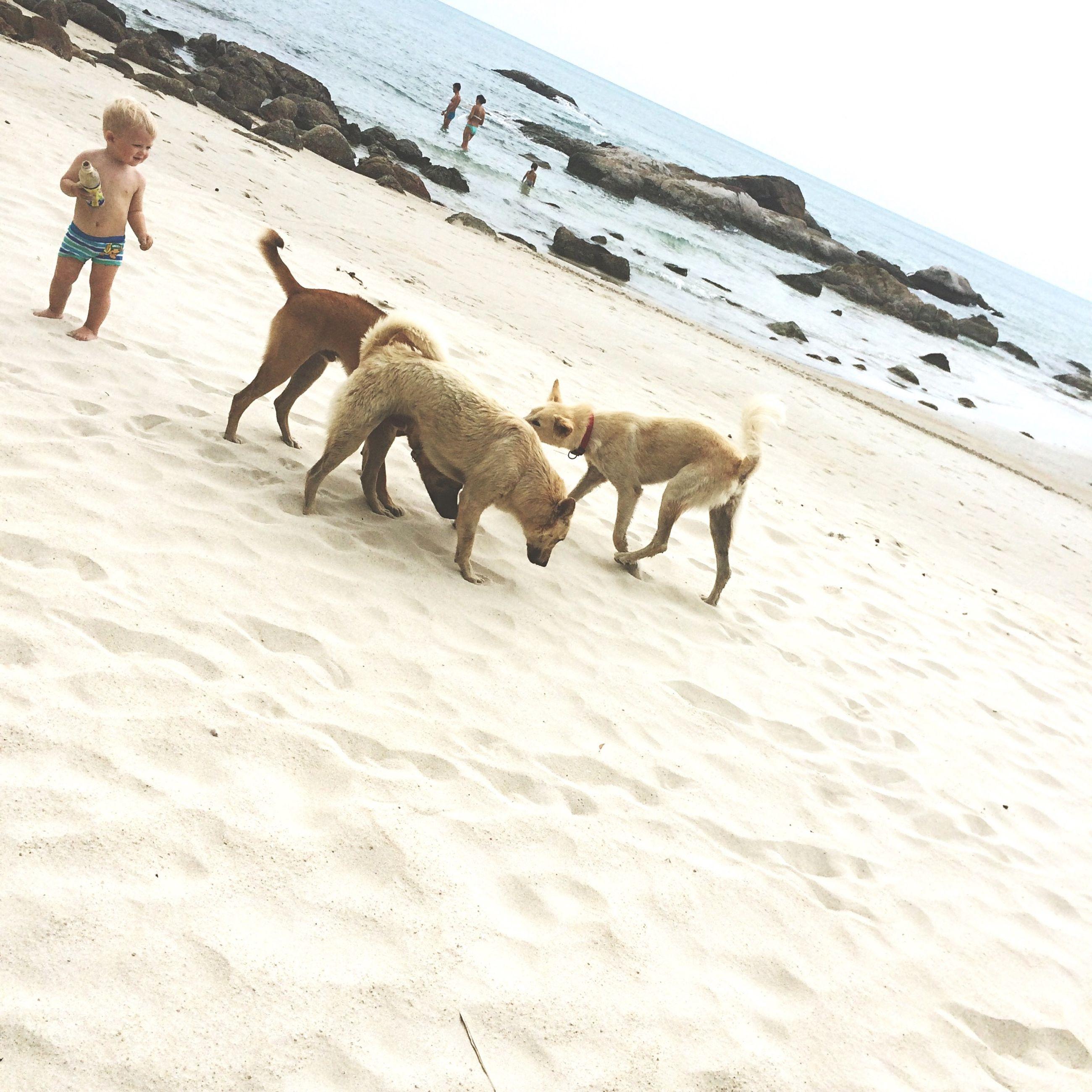 animal themes, beach, sand, mammal, domestic animals, shore, walking, animals in the wild, full length, wildlife, sea, nature, camel, water, bird, day, medium group of animals, outdoors