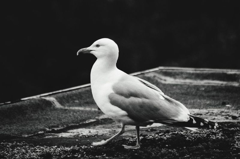Scotland gull Bird Vertebrate Animal Themes Animal Animals In The Wild Animal Wildlife One Animal No People Water Nature Perching Full Length Day Seagull Close-up Outdoors Dove - Bird Side View Looking Away