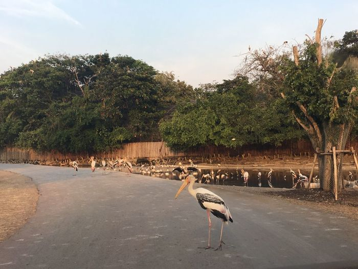 Stork perching on road