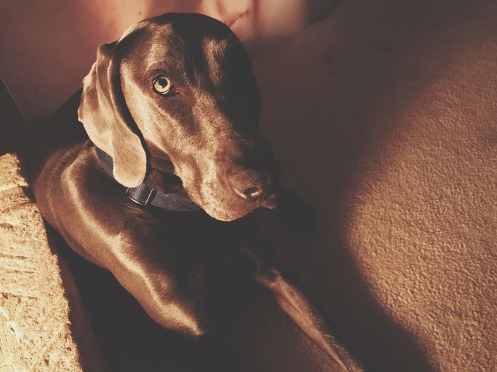 Evening Night Looking At Camera Loyal Man's Best Friend Pet Dog Domestic Animals Pets One Animal Animal Themes Mammal Indoors  Home Interior No People Weimaraner