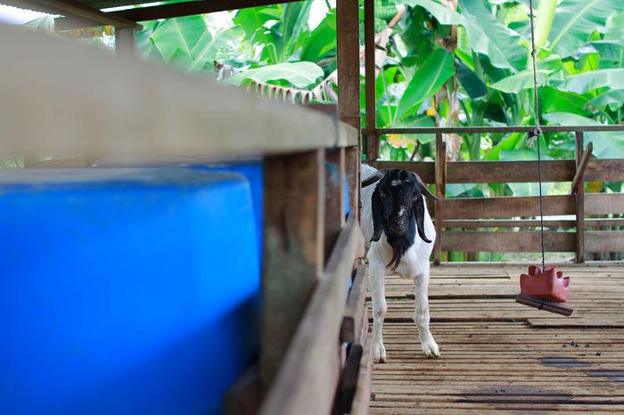 Pet Portraits Animals In The Wild Goat Animal Themes Mammal Farm Animals EyeEmNewHere No People Outdoors Qurban Barn Farm