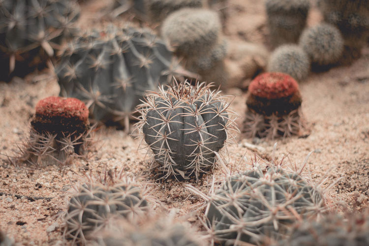 Arid Climate Barrel Cactus Cactus Close-up Day Field Food Food And Drink Freshness Fruit Growth Healthy Eating Land Nature No People Outdoors Plant Selective Focus Sharp Spiked Spiky Succulent Plant Thorn