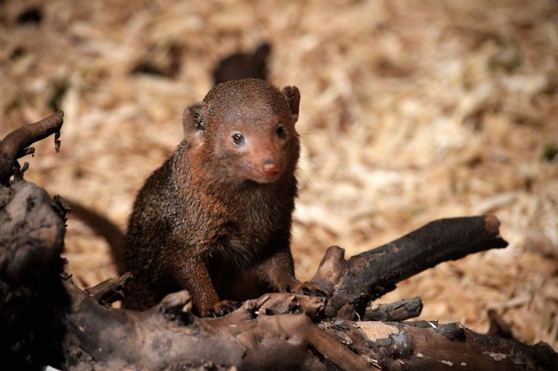 Close-Up Of Mongoose Pup On Field