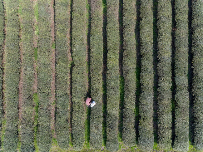 Adult Adults Only Agriculture Day Field Green Color Growth High Angle View In A Row Men Nature Occupation One Man Only One Person Only Men Outdoors Pattern People Rural Scene The Great Outdoors - 2017 EyeEm Awards Working Young Adult 劳动 茶 行怕