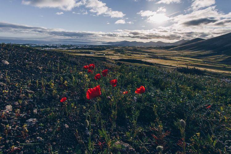 Red poppy flowers on land against sky