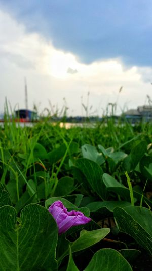Focus On Foreground Plant Nature Growth Agriculture Crop  Farm Green Color Leaf Close-up Field Outdoors Beauty In Nature Flower Fragility Sky Rural Scene No People Day Landscape Moonriver
