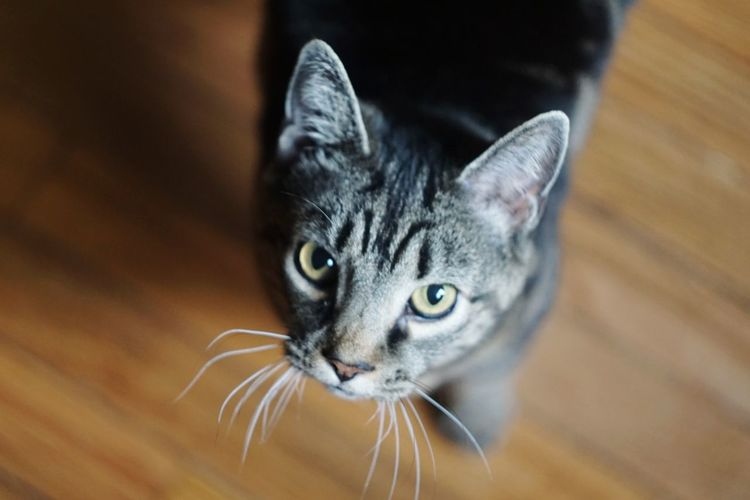 Domestic Cat Pets One Animal Domestic Animals Animal Animal Head  Looking At Camera Close-up Mammal Feline Portrait Indoors  No People Cat