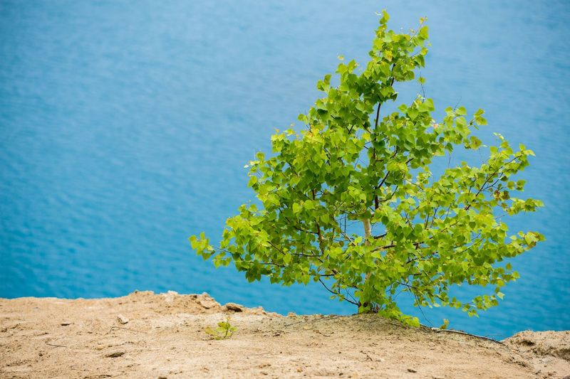 Birch Tree Plant Beauty In Nature Nature Water Blue Green Color Sea