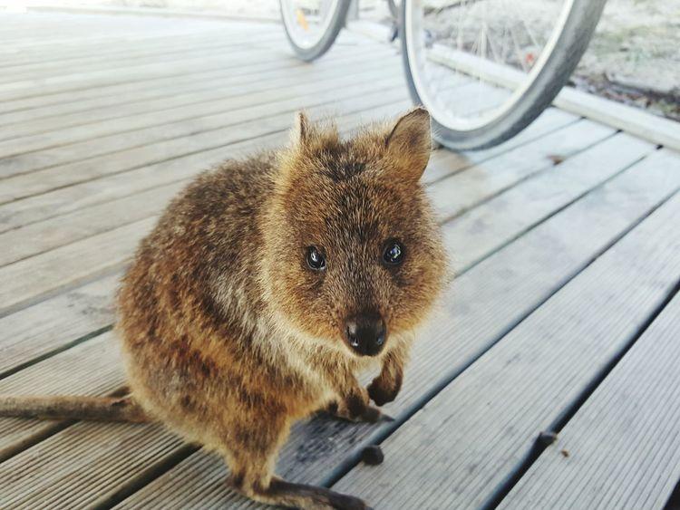 Quokka Rottnest Island Eyeem2017 Travel Photography Perth Australia No Filter, No Edit, Just Photography Closeup Photography
