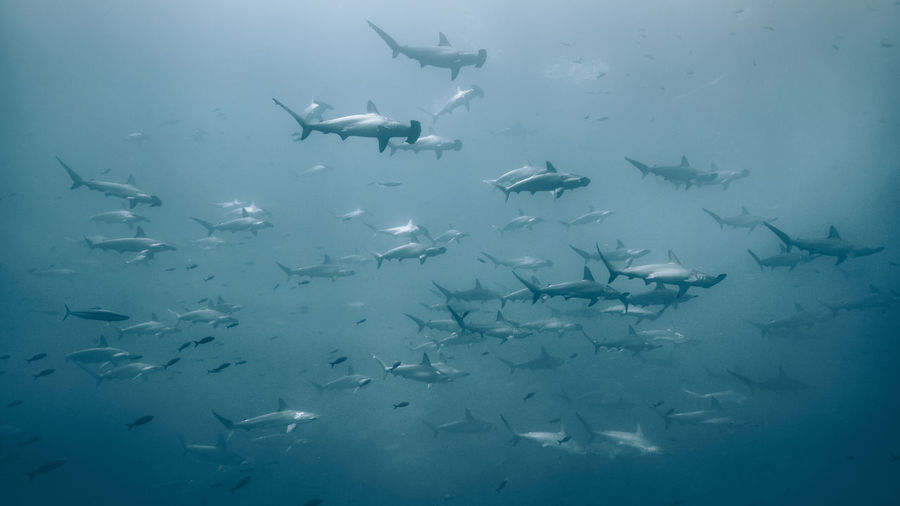 Underwater Animal Animal Themes Group Of Animals Animals In The Wild Sea Fish Animal Wildlife Vertebrate Large Group Of Animals Swimming Water UnderSea Sea Life Marine School Of Fish No People Shark Blue