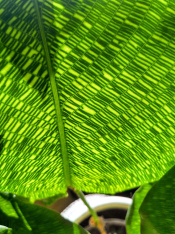 Green leaf macro of Calathea Musaica Network, houseplant with unique patterns, vertical orientation, nobody. Greenery Veins Detail Macro Pattern Leaf Vein Natural Pattern No People Close-up Nature Plant Plant Part Leaf Green Color Marantaceae Calathea Calathea Network Calathea Musaica Network Prayer Plant