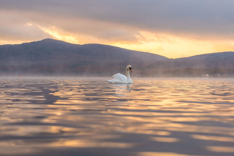 Swan swimming on lake against cloudy sky during sunset