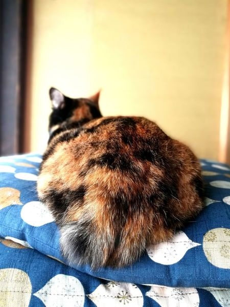 Calico Cat Back View Hip Zabuton Husuma Domestic Cat Japanese Traditional House Japan Shouji No People Close-up Relaxation Pets One Animal Animal Themes Cat Cute Love Cat Sitting