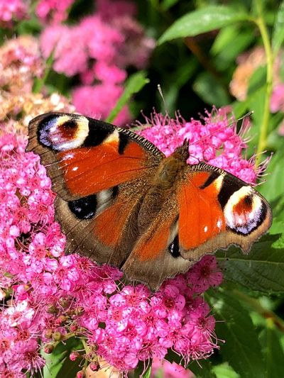 Wunderschön Flower Animal Themes Flowering Plant Animal Beauty In Nature Insect Animals In The Wild No People Close-up One Animal Animal Wildlife Invertebrate Fragility Pink Color Petal Plant Butterfly - Insect Animal Wing Vulnerability  Nature