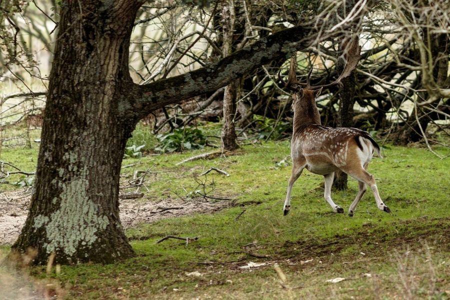Runaway Buck Fallow Deer Dunes Of Holland Tree Plant Animal Animal Themes Mammal Animal Wildlife Animals In The Wild Deer