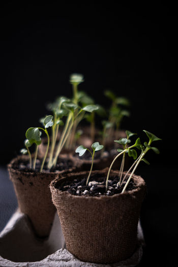 Close-up of potted plant against black background