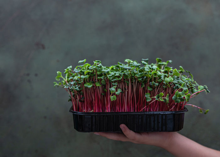 Girl holds a black tray with microgreen. raw sprouts. healthy eating and diet, vegan lifestyle.