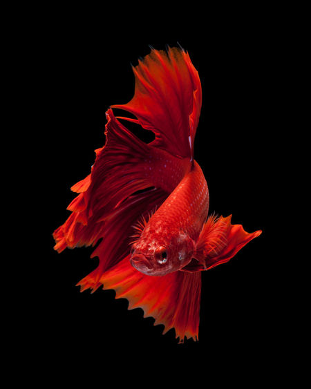 Capture the moving moment of red siamese fighting fish isolated on black background. betta fish Animal Themes Animal Wildlife Animals In The Wild Beauty In Nature Black Background Close-up Flower Head Fragility Goldfish Nature Night No People One Animal Outdoors Red Sea Life Studio Shot Swimming UnderSea Underwater Water