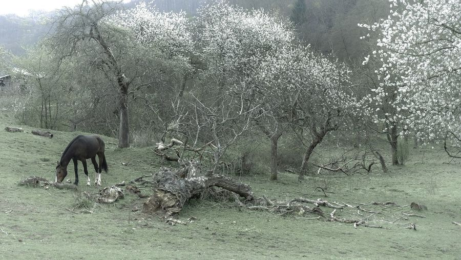 Horse Trees