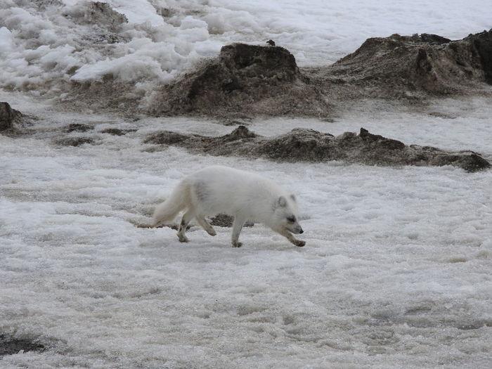 Arctic fox walking on snow