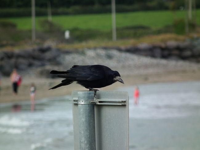 quick snap shot Bird Close-up Crow Day One Animal Raven - Bird EyeEmNewHere