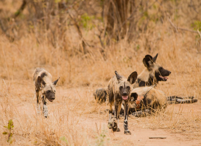 Wild Dogs On Field