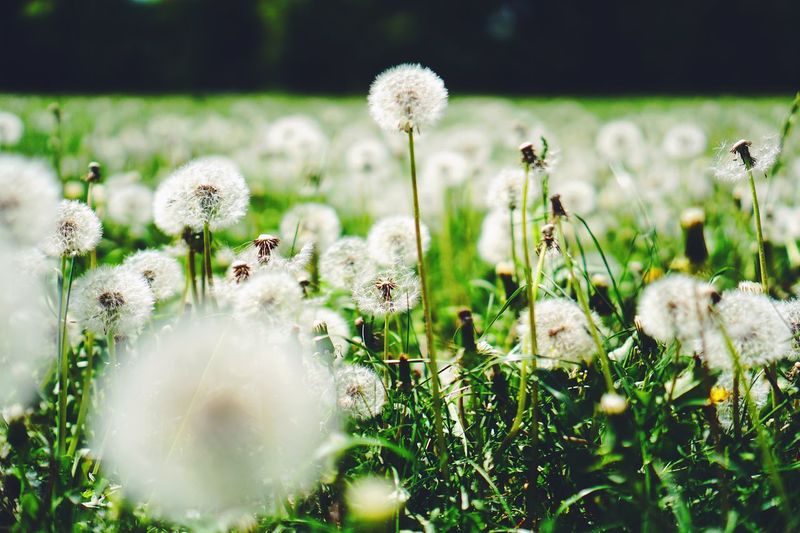 Colors Nature Photography Nature Spring Plant Flower Growth Vulnerability  Fragility Flowering Plant Beauty In Nature Freshness Nature Field Land No People White Color Dandelion Day Close-up Selective Focus Flower Head Inflorescence Plant Stem The Great Outdoors - 2018 EyeEm Awards