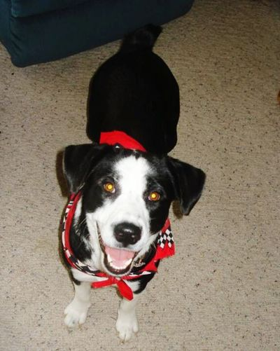 Happy puppy Happy Puppy Border Collie Australian Shepherd  Cross Rescue Dog Her Name Is Shyenne Black And White RED BANDANA Happy Girl  Loving Her New Life Bobbed Tail Smart Girl Dog Dog Photography She Is Smiling All Smiles ツ