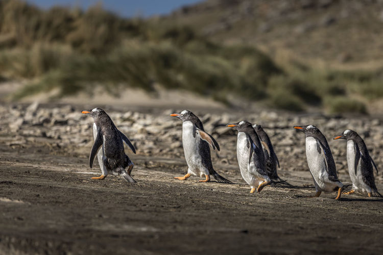 Penguins walking on land