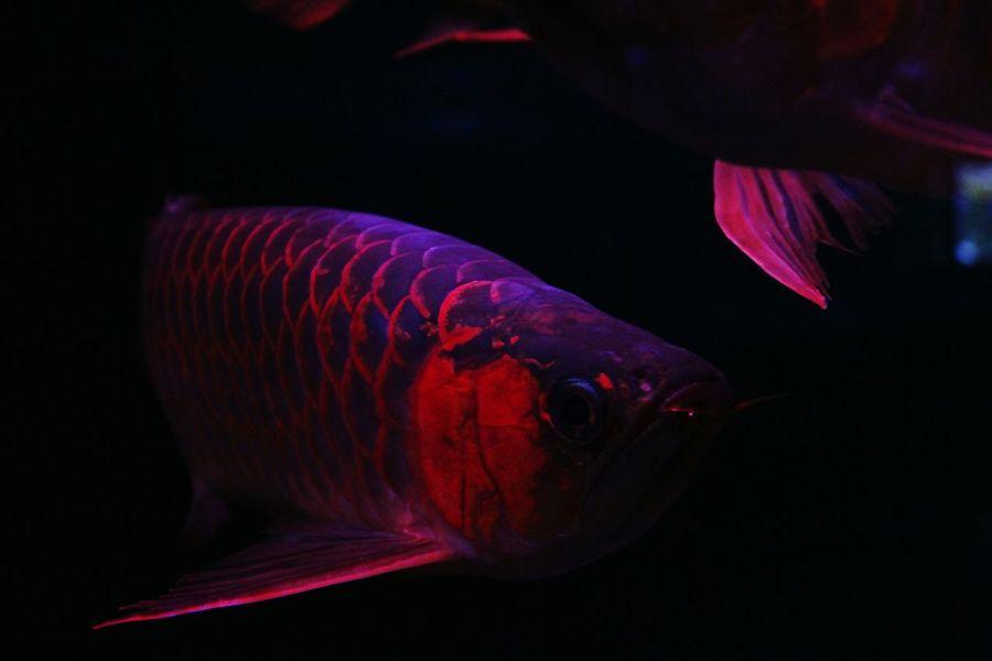 EyeEmNewHere Arowana Fish Underwater Black Background Swimming Indoors  Close-up Nature No People Animal Themes Aquarium