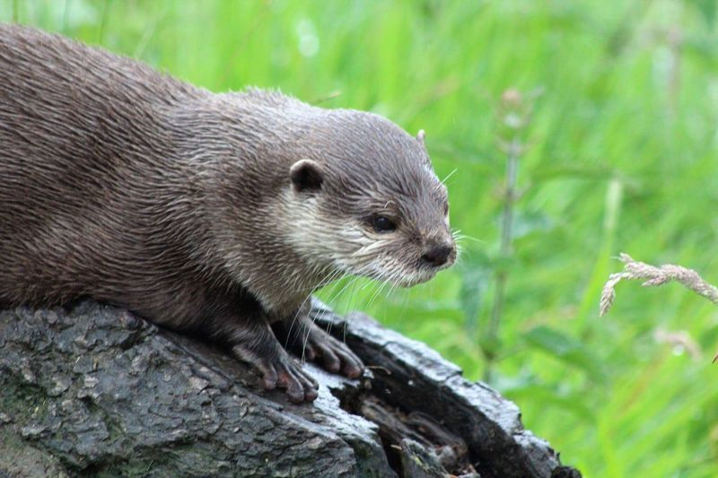 One Animal Animals In The Wild Animal Themes Animal Wildlife Day Mammal Outdoors Close-up No People Nature Otter Otters Animals In The Wild EyeEm Nature Lover EyeEm Best Shots - Nature