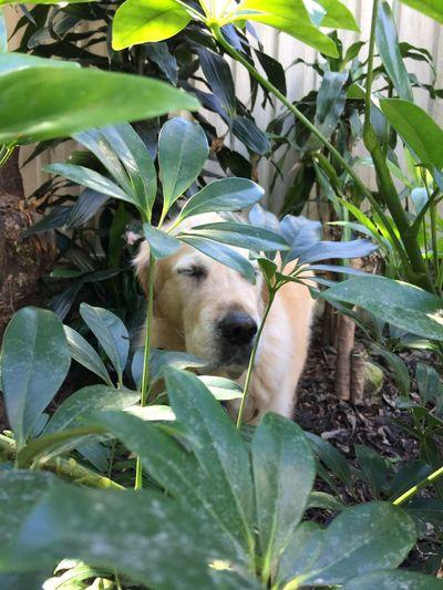 Golden Retriever Dog Garden
