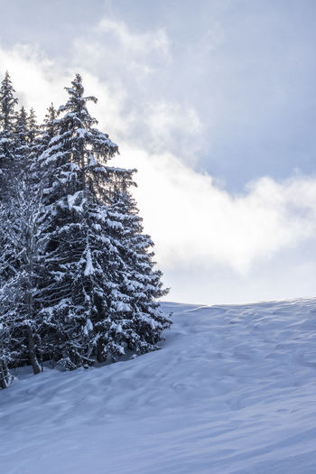 Snow covered pine tree against sky