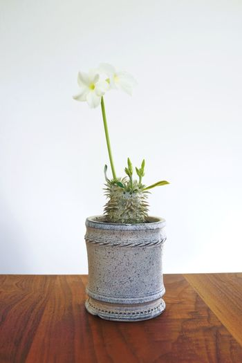 Plant Flower Flowering Plant Indoors  Vase Nature No People Petal Vulnerability  Wood - Material Decoration Flower Head Beauty In Nature Wall - Building Feature Table Close-up Potted Plant Freshness Growth Fragility