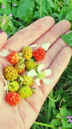 Human Hand One Person Holding Close-up Leaf Healthy Eating Fruit Freshness Outdoors Backgrounds Blackberry Dew Berries Variation Unripe Palm Room For Text Wild Blackberries Berry Fruit Freshness Flower Multi Colored High Angle View Room For Copy Lifestyles Beauty In Nature Visual Feast