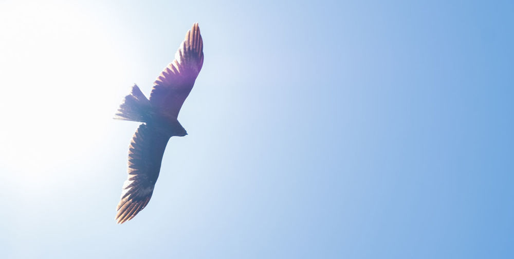 Low angle view of bird flying against clear blue sky