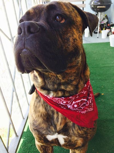 Canecorsoitaliano Odin Bigeyes Sweet Red