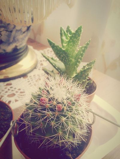 Nature Plant Flower No People Day Flower Head Cactus First Eyeem Photo
