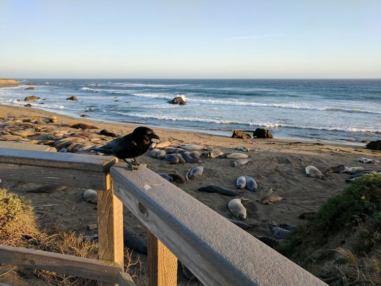 Animal Wildlife Marine Mammals Elephant Seals Seals Water Bird Raven Beach Horizon Over Water Sea Sand Sky Outdoors Nature Vacations Wave No People Beauty In Nature Scenics Sunset Clear Sky Landscape Pacific Coast Highway California Pacific Ocean
